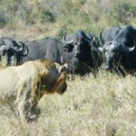 5.  Buffalo facing up to lion in the Kruger Park (Gail Nattrass)
