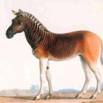 7.  The now extinct quagga (Wikipedia.org)